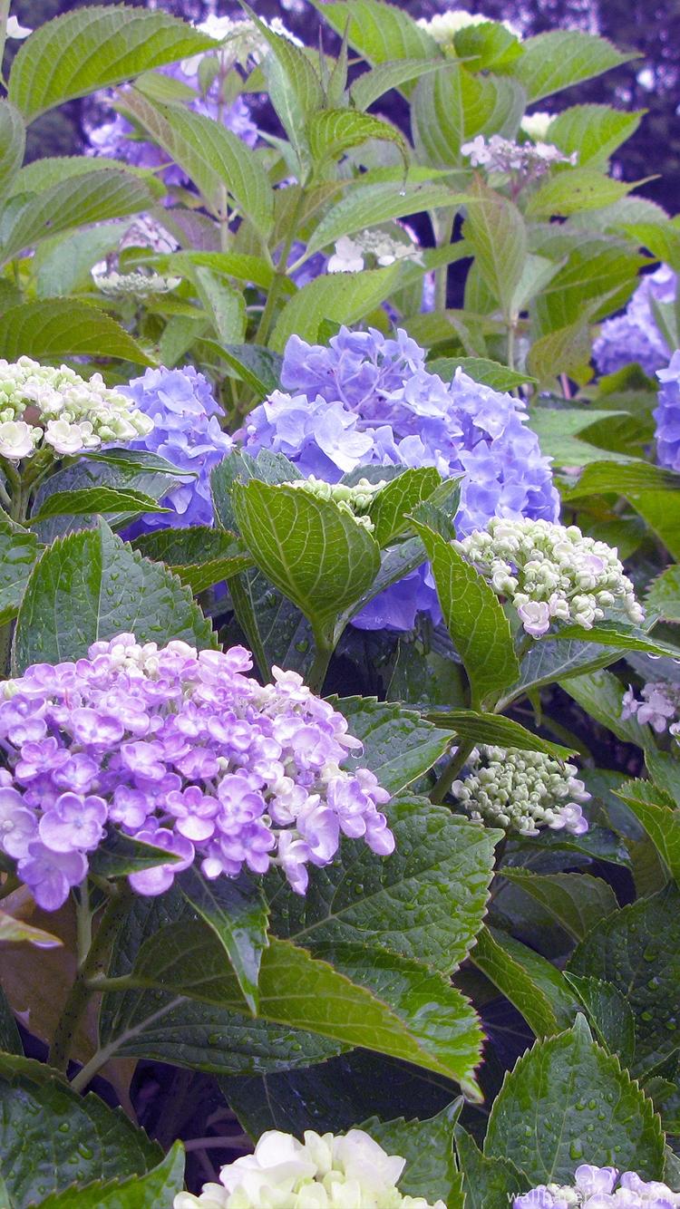 綺麗な花 紫陽花待ち受け スマホ壁紙