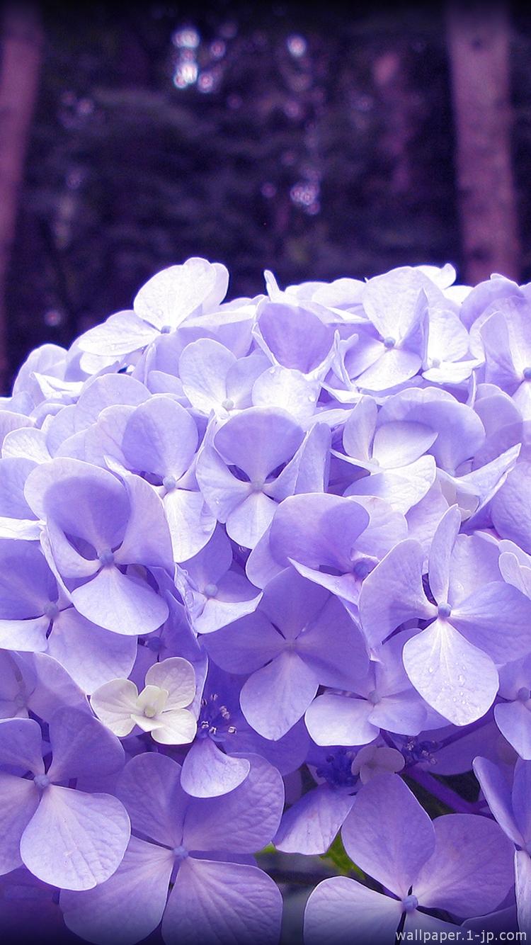 紫陽花 花写真待ち受け スマホ壁紙