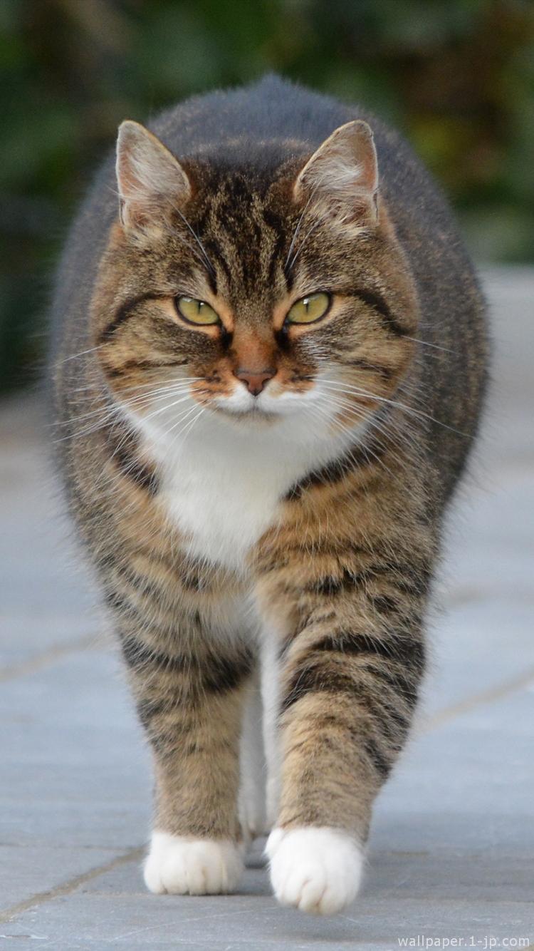 可愛い猫 三毛猫待ち受け スマホ壁紙