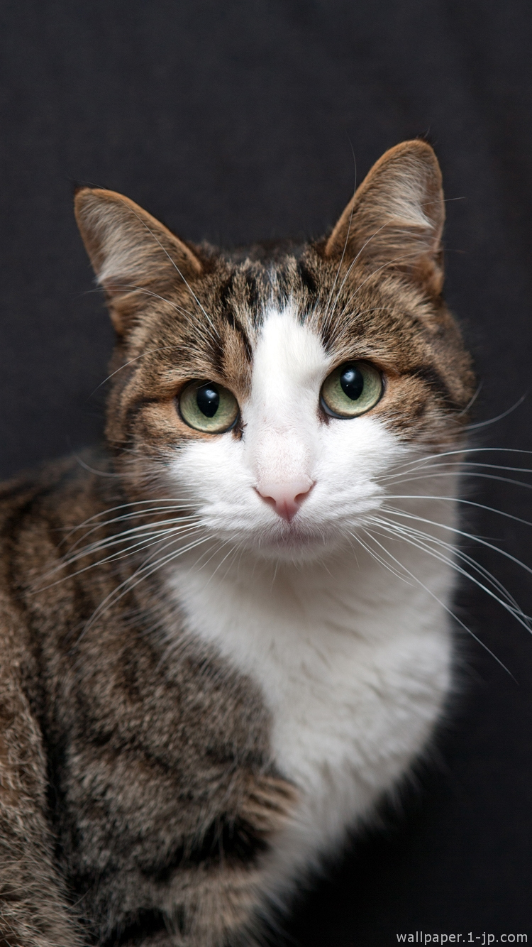 可愛いネコ 高画質ネコ写真待ち受け スマホ壁紙