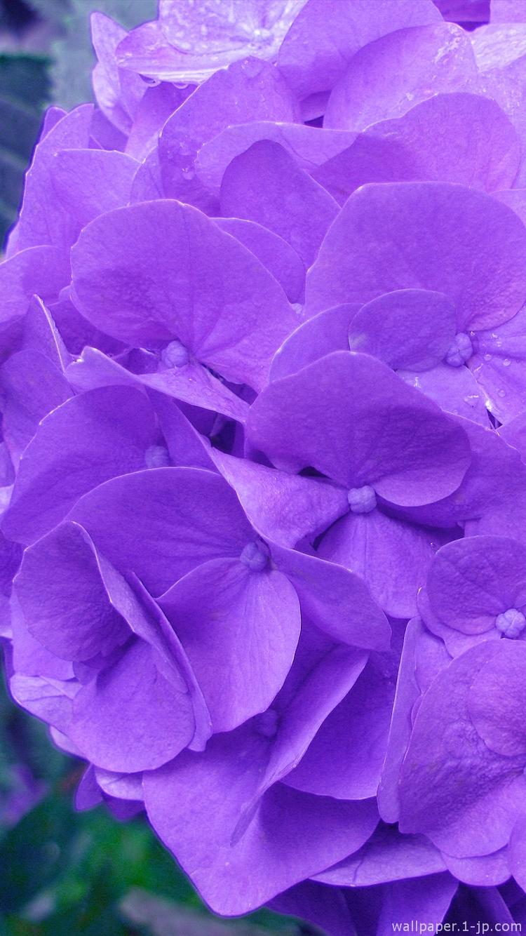 紫 黄 赤 ピンク花写真 薔薇写真待ち受け スマホ壁紙