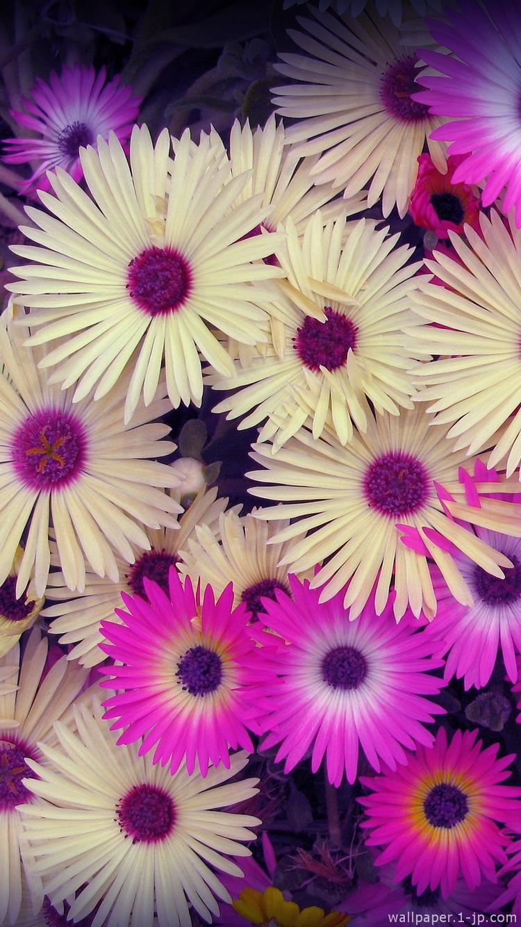 紫陽花の花 花のつぼみ待ち受け スマホ壁紙
